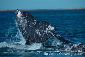 Courting gray whales, Laguna San Ignacio, Eschrichtius robustus, San Ignacio Lagoon