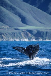 Gray whale, raising fluke to dive, Eschrichtius robustus, Big Sur, California