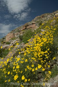 Clusters of desert poppy climb the steep sides of the Borrego Valley. Heavy winter rains led to a historic springtime bloom in 2005, carpeting the entire desert in vegetation and color for months, Eschscholzia parishii, Anza-Borrego Desert State Park, Anza Borrego, California