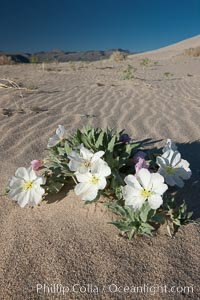 Eureka Valley Dune Evening Primrose.  A federally endangered plant, Oenothera californica eurekensis is a perennial herb that produces white flowers from April to June. These flowers turn red as they age. The Eureka Dunes evening-primrose is found only in the southern portion of Eureka Valley Sand Dunes system in Indigo County, California. Eureka Dunes, Death Valley National Park, California, USA, Oenothera californica eurekensis, natural history stock photograph, photo id 25341