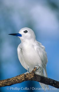 A white tern, or fairy tern, alights on a branch at Rose Atoll in American Samoa. Rose Atoll National Wildlife Sanctuary, American Samoa, USA, Gygis alba, natural history stock photograph, photo id 00871