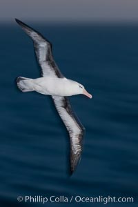"Black-browed albatross flying over the ocean, as it travels and forages for food at sea.  The black-browed albatross is a medium-sized seabird at 31-37"" long with a 79-94"" wingspan and an average weight of 6.4-10 lb. They have a natural lifespan exceeding 70 years. They breed on remote oceanic islands and are circumpolar, ranging throughout the Southern Oceanic, Thalassarche melanophrys"