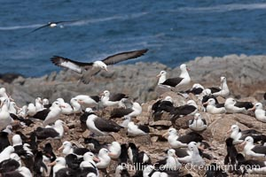 Black-browed albatross in flight, over the enormous colony at Steeple Jason Island in the Falklands, Thalassarche melanophrys