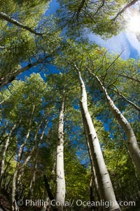 Aspen trees, with leaves changing from green to yellow in autumn, branches stretching skyward, a forest. Bishop Creek Canyon Sierra Nevada Mountains, Bishop, California, USA, Populus tremuloides, natural history stock photograph, photo id 26073