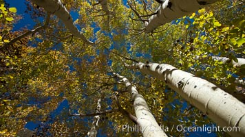 Aspen trees, with leaves changing from green to yellow in autumn, branches stretching skyward, a forest, Populus tremuloides, Bishop Creek Canyon Sierra Nevada Mountains