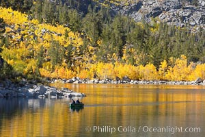 Aspen trees display Eastern Sierra fall colors, Lake Sabrina, Bishop Creek Canyon, Populus tremuloides, Bishop Creek Canyon, Sierra Nevada Mountains