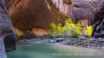 Flowing water and fall cottonwood trees, along the Virgin River in the Zion Narrows in autumn. Virgin River Narrows, Zion National Park, Utah, USA, natural history stock photograph, photo id 26105