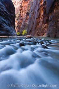 Cottonwood trees along the Virgin River, with flowing water and sandstone walls, in fall, Virgin River Narrows, Zion National Park, Utah