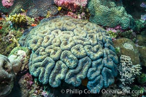 Favia maxima, a species of stony reef-building coral, Fiji