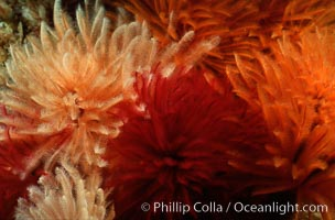 Feather duster worms, Eudistylia polymorpha, San Miguel Island, copyright Phillip Colla Natural History Photography, www.oceanlight.com, image #02545, all rights reserved worldwide.