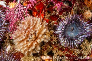 Feather duster worm (left) and aggregating sea anemone (right), Eudistylia polymorpha, Anthopleura elegantissima, Santa Barbara Island