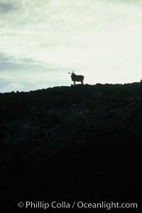 Feral goat atop ridge at sunset. Guadalupe Island (Isla Guadalupe), Baja California, Mexico, natural history stock photograph, photo id 03711