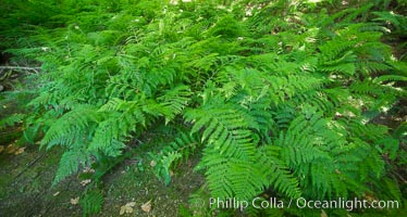 Ferns cover the forest floor of Cathedral Grove, MacMillan Provincial Park, Vancouver Island, British Columbia, Canada