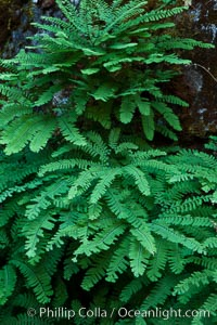 Ferns grow on rock wall. Oregon Caves National Monument, Oregon, USA, natural history stock photograph, photo id 25857