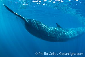 Fin whale underwater.  The fin whale is the second longest and sixth most massive animal ever, reaching lengths of 88 feet, Balaenoptera physalus, La Jolla, California