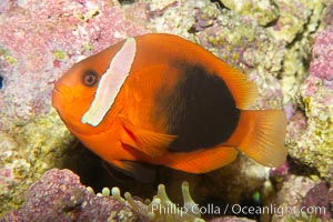 Fire clownfish, Amphiprion melanopus
