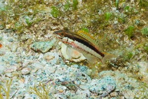 Unidentified fish. Sea of Cortez, Baja California, Mexico, natural history stock photograph, photo id 27495