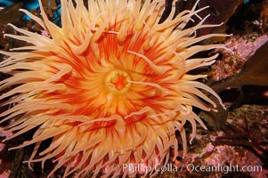 Fish-eating anemone, Urticina