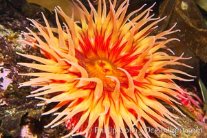 Fish-eating anemone., Urticina piscivora, natural history stock photograph, photo id 14940