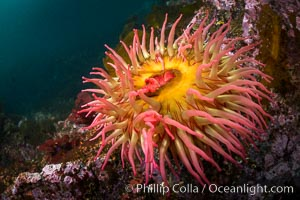 The Fish Eating Anemone Urticina piscivora, a large colorful anemone found on the rocky underwater reefs of Vancouver Island, British Columbia, Urticina piscivora