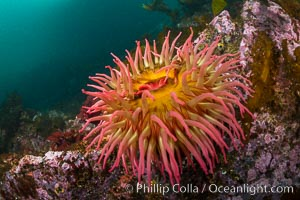 The Fish Eating Anemone Urticina piscivora, a large colorful anemone found on the rocky underwater reefs of Vancouver Island, British Columbia. British Columbia, Canada, Urticina piscivora, natural history stock photograph, photo id 34346