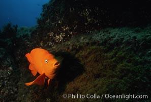Garibaldi and egg clutch, Hypsypops rubicundus, San Clemente Island