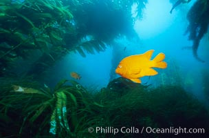 Garibaldi swimming over surfgrass in kelp forest, Hypsypops rubicundus, Phyllospadix, Macrocystis pyrifera, San Clemente Island