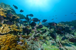 Fish schooling over coral reef, Clipperton Island