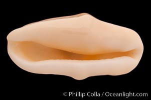 Flamingo tongue cowrie, Cyphoma gibbosum, natural history stock photograph, photo id 08630