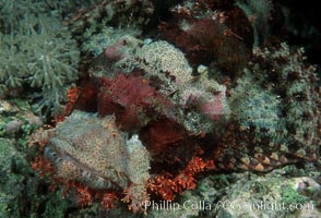 Flathead scorpionfish, Scorpaenopsis oxycephala, Egyptian Red Sea
