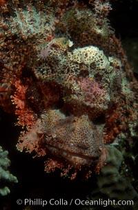 Flathead scorpionfish. Egyptian Red Sea, Egypt, Scorpaenopsis oxycephala, natural history stock photograph, photo id 07096