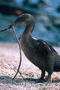 Flightless cormorant, Punta Espinosa, Nannopterum harrisi, Phalacrocorax harrisi, Fernandina Island