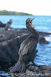 Flightless cormorant.  In the absence of predators and thus not needing to fly, the flightless cormorants wings have degenerated to the point that it has lost the ability to fly, however it can swim superbly and is a capable underwater hunter.  Punta Albemarle, Nannopterum harrisi, Phalacrocorax harrisi, Isabella Island