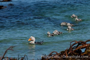 Flightless steamer duck, male, with ducklings, swimming in the ocean, Tachyeres Brachypterus, Carcass Island