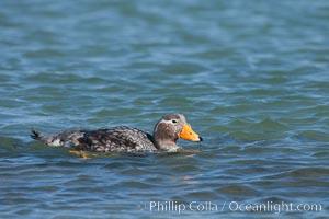 Flightless steamer duck, Tachyeres Brachypterus, Carcass Island