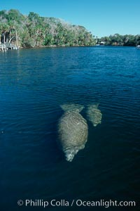 West Indian manatee mother and calf travel along Homosassa River, Trichechus manatus