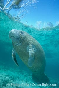 West Indian manatee calf with viral skin infection covering body, Trichechus manatus, Three Sisters Springs, Crystal River, Florida