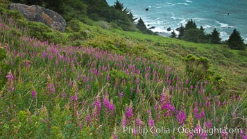 Flowers grow on a coastal bluff above the ocean, Redwood National Park, California