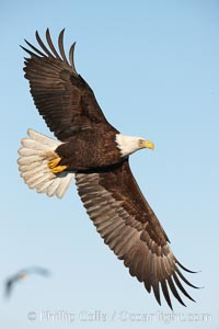 Bald eagle in flight, wing spread, soaring. Kachemak Bay, Homer, Alaska, USA, Haliaeetus leucocephalus, Haliaeetus leucocephalus washingtoniensis, natural history stock photograph, photo id 22633