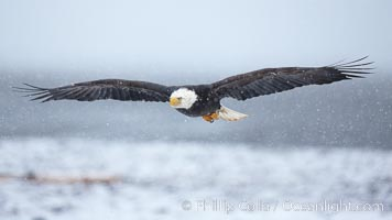 Bald eagle in flight, heavy snow falling, snow covered beach and Kachemak Bay in background, Haliaeetus leucocephalus, Haliaeetus leucocephalus washingtoniensis, Homer, Alaska