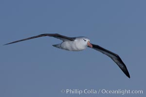 "Black-browed albatross in flight, at sea.  The black-browed albatross is a medium-sized seabird at 31-37"" long with a 79-94"" wingspan and an average weight of 6.4-10 lb. They have a natural lifespan exceeding 70 years. They breed on remote oceanic islands and are circumpolar, ranging throughout the Southern Oceanic, Thalassarche melanophrys"