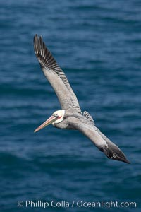 California brown pelican in flight, soaring over the ocean with its huge wings outstretched.  The wingspan of the brown pelican can be over 7 feet wide. The California race of the brown pelican holds endangered species status, Pelecanus occidentalis, Pelecanus occidentalis californicus, La Jolla