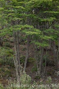Forest, Tierra del Fuego National Park, Argentina, Ushuaia