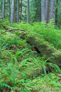 A fallen tree serves as a nurse log for new growth in an old growth forest of douglas firs and hemlocks, with forest floor carpeted in ferns and mosses.  Sol Duc Springs, Olympic National Park, Washington