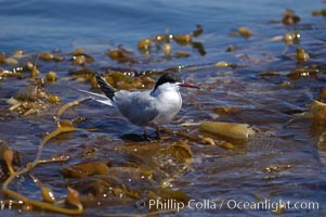Forsters terns rest on a drift kelp paddy.  Drifting patches or pieces of kelp provide valuable rest places for birds, especially those that are unable to land and take off from the ocean surface.  Open ocean near San Diego, Sterna forsteri, Macrocystis pyrifera