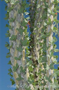 Trunk and leaves of the Ocotillo. Protective thorns are hidden among each small group of leaves. The fresh green leaves are a sign of recent rain, and are shed during months of drought, Fouquieria splendens, Joshua Tree National Park, California