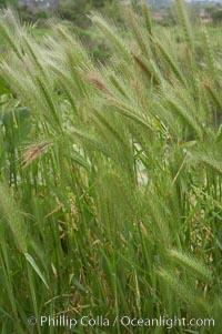 Foxtail barley, Hordeum murinum, San Elijo Lagoon, Encinitas, California