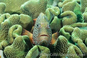 Freckled Hawkfish (Black-sided Hawkfish), Paracirrhites forsteri, Fiji, Makogai Island, Lomaiviti Archipelago