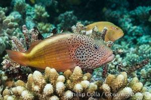 Freckled Hawkfish (Black-sided Hawkfish), Paracirrhites forsteri, Fiji, Paracirrhites forsteri, Makogai Island, Lomaiviti Archipelago