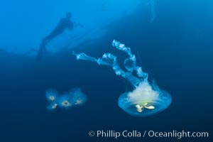 Freediver photographing pelagic gelatinous zooplankton, adrift in the open ocean, Phacellophora camtschatica, San Diego, California